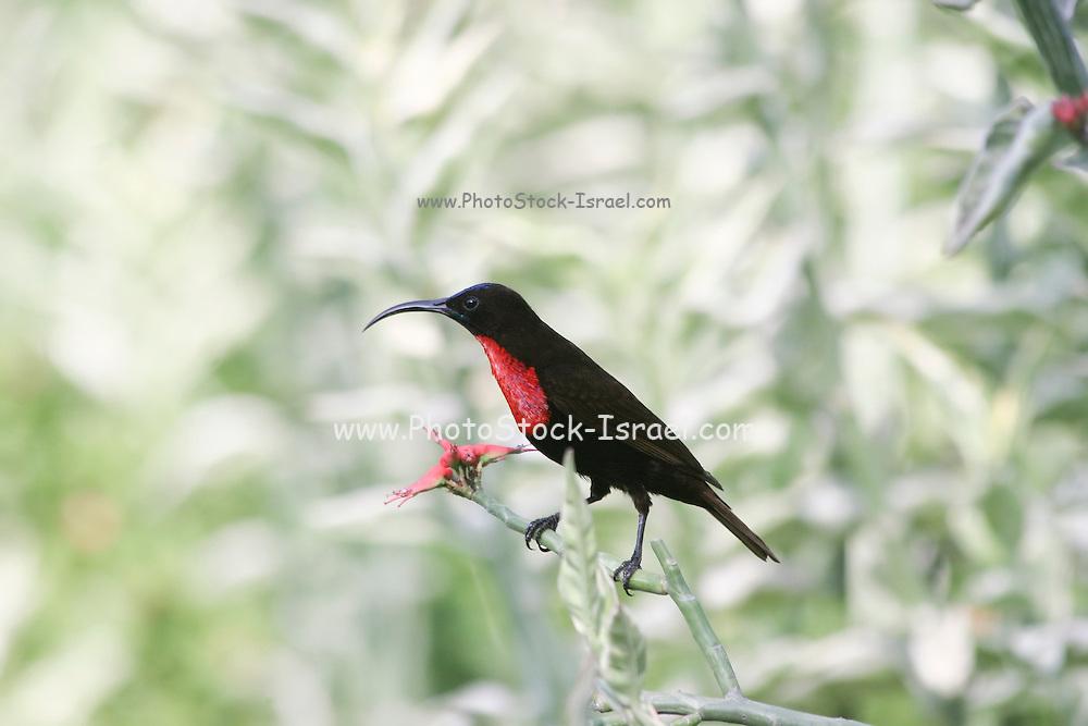 Africa, Tanzania, Lake Manyara National Park, Close-up of Scarlet-chested Sunbird (Nectarinia senegalensis) feeding on nectar