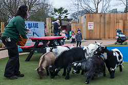 London, UK. 2 January, 2020. A zookeeper rounds up pygmy goats during the annual stocktake at ZSL London Zoo. Every mammal, bird, reptile, fish and invertebrate is counted - a total of more than 500 different species - as part of an almost week-long audit required by the Zoo's licence, with the information recorded then shared with other zoos via the Species360 database.