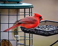 Northern Cardinal. Image taken with a Fuji X-T3 camera and 200 mm f/2 lens with 1.4x TC