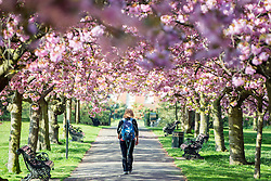 © Licensed to London News Pictures. 10/04/2014. London, UK. A woman walks through the line of trees.  People walk and play amongst the pink cherry blossom in bright sunshine at Greenwich Park in London today, 10 April 2014,The weather forecast is set to be brighter and warmer over the coming days.Photo credit : Stephen Simpson/LNP