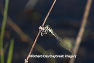 06326-001.03 Fragile Forktail (Ischnura posita) male in wetland, Marion Co.  IL