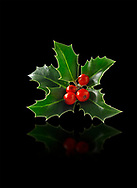 sprig of arranged holly leaves with red berries - Ilex aquifolium
