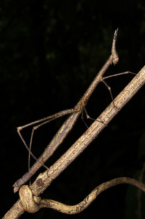 Jumping Stick Insect (Apioscelis sp. Proscopiidae)<br /> Yasuni National Park, Amazon Rainforest<br /> ECUADOR. South America