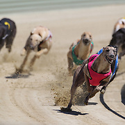 Greyhounds in action as they race to the finish line during greyhound racing at Forbury Park Raceway, St. Kilda, Dunedin, Otago, New Zealand. 24th January 2012. Photo Tim Clayton