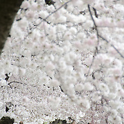 Washington DC's famous Yoshino Cherry Blossoms around the Tidal Basin at full bloom.