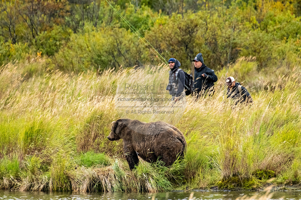 Fly fishermen walk past a large adult Brown Bear, hidden by the tall grass in the lower Brooks River at in Katmai National Park and Preserve September 16, 2019 near King Salmon, Alaska. The park spans the worlds largest salmon run with nearly 62 million salmon migrating through the streams which feeds some of the largest bears in the world.
