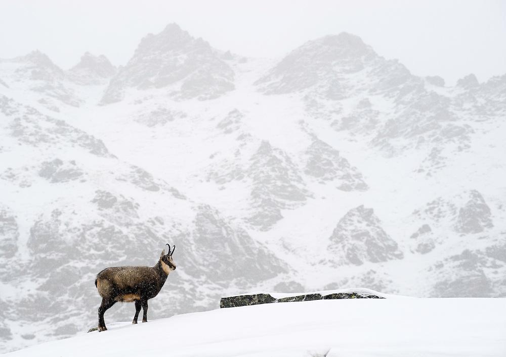 31.10.2008.Chamois (Rupicapra rupicapra) in alpine landscape. Snowing..Gran Paradiso National Park, Italy