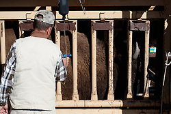 Bison getting inoculated during bison roundup, Ladder Ranch, west of Truth or Consequences, New Mexico, USA.