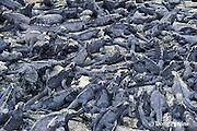 endemic marine iguanas, Amblyrhynchus cristatus, Punta Espinosa, Fernandina, Galapagos ( Eastern Pacific Ocean )