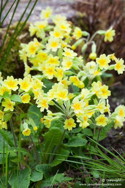 False Oxlip. Primula veris x vulgaris (P. x polyantha)