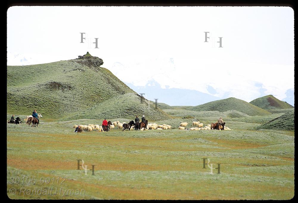 Horsemen herd sheep home thru lowlands after fall roundup below Vatnajokull Glacier; Klaustur. Iceland