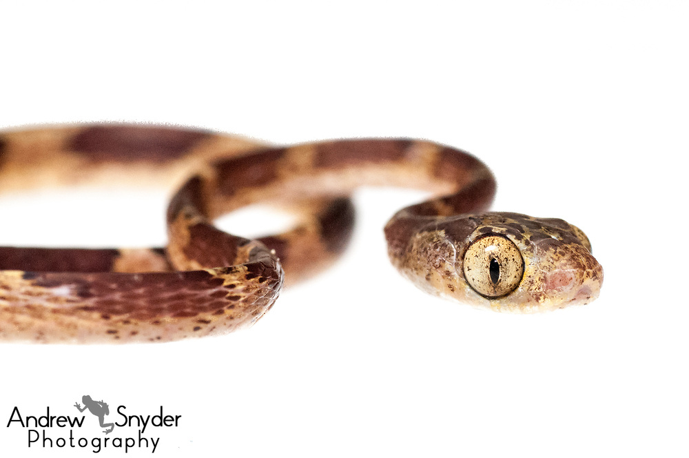 Blunt headed tree snake, Imantodes cenchoa, Kanuku Mountains, Guyana, July 2013