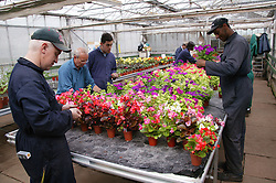 Workers with learning disabilities at work in greenhouse tending flowers at Brook Farm; Linby,