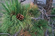 Pine cones on ponderosa pine, both green developing cones and opened cones on the same branch tip, Jemez Mountains, NM, © David A. Ponton