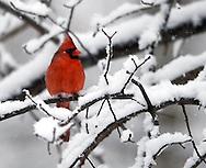 A cardinal sits on a branch during a snow storm in Ohio..Photo copyright David Richard/davidrichardphoto.com
