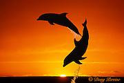 bottlenose dolphins, Tursiops truncatus (c-r)<br /> jumping in front of sunset  (dc),<br /> Bahamas ( Western Atlantic Ocean )