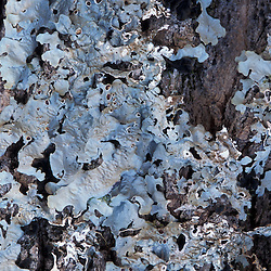 Kibby Township, ME. A lichen, Lobaria quercizans, on an old sugar maple.  An indicator for late successional hardwood forest. Plum Creek land.