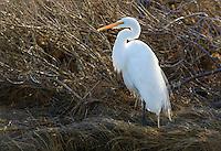 Great Egret, Ardea alba, Chincoteague National Wildlife Refuge, Virginia, USA