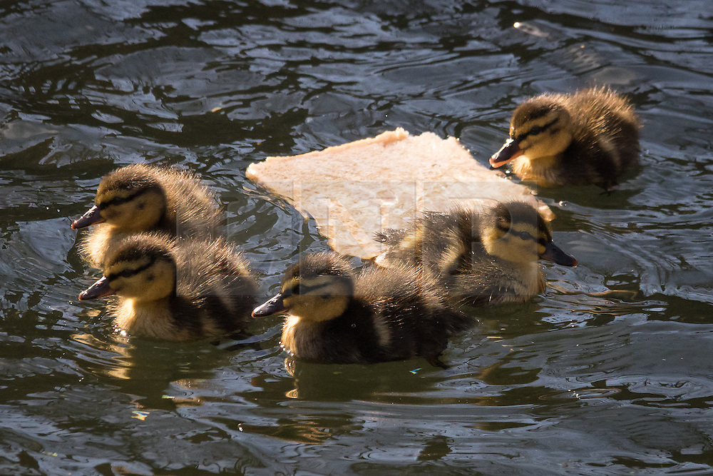 """© Licensed to London News Pictures. 16/03/2015. London, UK. Ducklings swim around a slice of uneaten bread floating on a canal in Wapping, east London. The Canal and River Trust has just launched a campaign to stop people feeding bread to ducks and say it is """"junk food"""" for ducks and causes algae, disease and rats. Image date: 7th March 2015. Photo credit : Vickie Flores/LNP"""