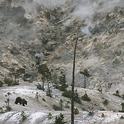 A female grizzly bear (Ursus arctus horribilis) makes her way across Roaring Mountain in Yellowstone National Park.