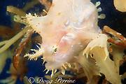 sargassum fish, Histrio histrio, in sargassum weed, Gulf of Mexico