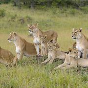 African lion (Panthera leo) pride in the grass. Masai Mara National Reserve, Kenya, Africa
