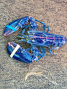 "What a catch! Fisherman hauls in a BLUE lobster off Canadian shore... a 1-in-2-million find<br /> <br /> It's said to be a one-in-two-million chance of catching a lobster with a royal blue shell.<br /> For lobster boat captain Bobby Stoddard, 51, of Nova Scotia, who has spent the last 33 years fishing at sea, that exquisite catch came last month. <br /> Hauling in his traps in early May, Mr Stoddard recalled the curious call sent out by one of his crew members:<br /> 'I turned around and said, ""Holy Smokes!"" <br /> The 1.5lbs crustacean, found too unique by Mr Stoddard to eat, is coloured by a rare genetic variation according to researchers at the University of Maine Lobster Institute.<br /> <br /> 'The coloration comes from a genetic defect that causes the lobster to produce an excessive amount of a particular protein that gives the lobster that unique coloration,' the Lobster Institute states. <br /> Normally appearing brown or dark green in nature prior to boiling, and first considered 'garbage' food given to peasants during the 17th and 18th century according to the Institute, lobsters have been found in even more rare colours than blue.<br /> <br /> <br /> According to the Gulf of Maine Research Institute, one-out-of-10 million lobsters are found in a bright red colour.<br /> Even rarer, however, are yellow and calico lobsters - speckled with yellows and oranges - which both have an estimated one-in-30 million chance of finding.<br /> While having much greater odds of catching a blue lobster, than a red or yellow one, Mr Stoddard said - despite hauling in about 3,000 lobsters on a good day - this was the first blue one he has personally ever seen.<br /> 'Even overtop his eyes and underneath, he's just really blue,'<br /> Unsure what to do with his new find, Mr Stoddard said he placed the animal in a tank at his business and then on an online auction after a suggestion by his girlfriend, at a starting bid of $200.<br /> ©Exclusivepix"