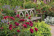 Rosa Queen's Jubilee 'Beajubilee', deep red roses surrounding a traditoonal wooden teak becnh in The Shrub Rose Garden at RHS Garden Rosemoor in Great Torrington, Devon, UK  June