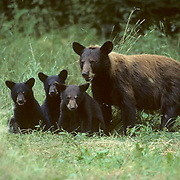 Black Bear, (Ursus americanus) Minnesota, cinnamon sow with spring cub merge into meadow cautiously to graze. Late summer