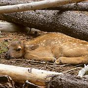 Elk, (Cervus elaphus) Spring calf laying near fallen lodgepole pine in timber. Spring.