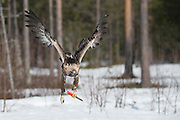 That's what you call one tough old bird: The golden eagle who carries a KNIFE<br /><br />A forgetful photographer had the shock of his life when this soaring golden eagle made off with his knife.<br />Dutch snapper Han Bouwmeester had been using the utensil, in Västerbotten, Sweden, to carve up chunks of meat in a bid to attract the birds of prey.<br />But, busy with the task in hand, the wildlife aficionado clumsily dropped it in the snow. He said: 'Once it flew away in the sight of my camera I saw something red in his claws and made some shots of it.<br />'On the display from my camera I saw immediately that it was the knife we used to cut the meat. We surely left it in the snow. 'At such a moment we were firstly enraged with ourselves because this was a fault.  But he soon dropped the knife after realising it was useless for him.<br />'I was happy with the absolutely cracking and unique picture. The eagle is holding it exactly as we should do with it. What a crazy once in a lifetime moment this was.'<br />©Han Bouwmeester/exclusivepix