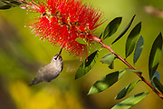 Hummingbird in hovering flight sipping from a bottle brush bloom