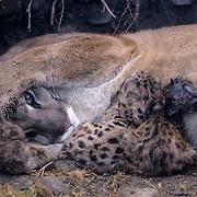 Mountain Lion or Cougar, (Felis concolor) Mother with newborns nursing. Rocky mountains. Montana.  Captive Animal.