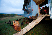 At dawn, the chickens in an eggmobile (portable henhouse) at Joel Salatin's farm in Shenandoah, Virginia are released to spend the day pecking in the pastures that cattle have just vacated. (From the book What I Eat: Around the World in 80 Diets.) The chickens spend the day eating insects, grass, seeds, and undigested bits in the cattle manure (helping to scatter it in the process).