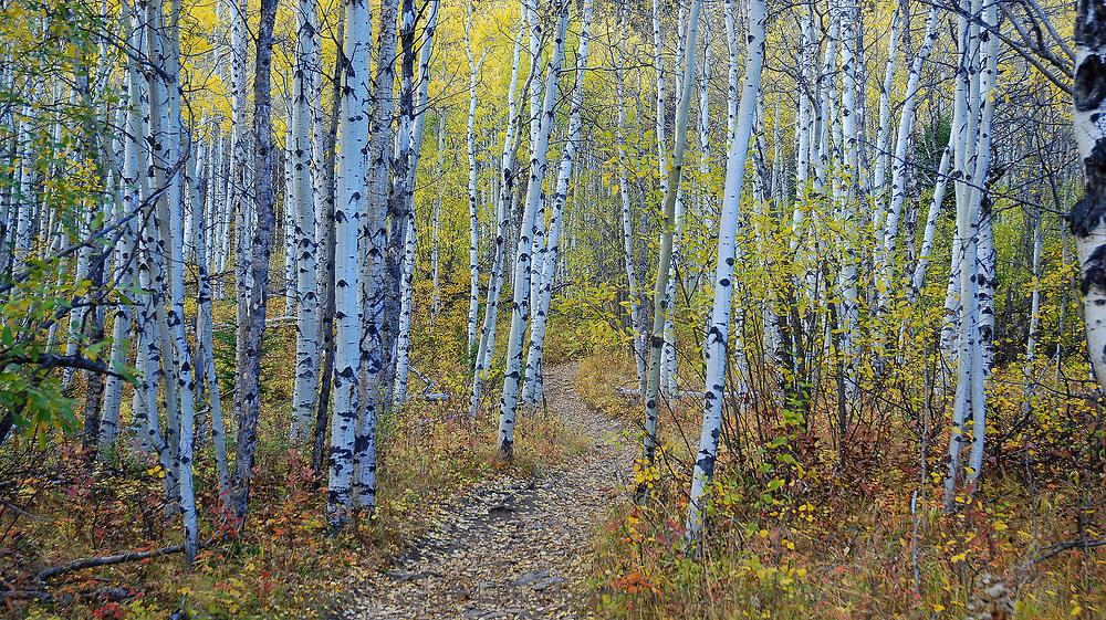 A path through the aspens, Yamnuska, Alberta