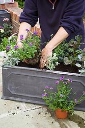 Planting up a trough. Senecio cineraria, Nemesia Bluebird, Pelargonium and Helichrysum petiolare and Argyranthemum frutescens (Marguerite Daisy)