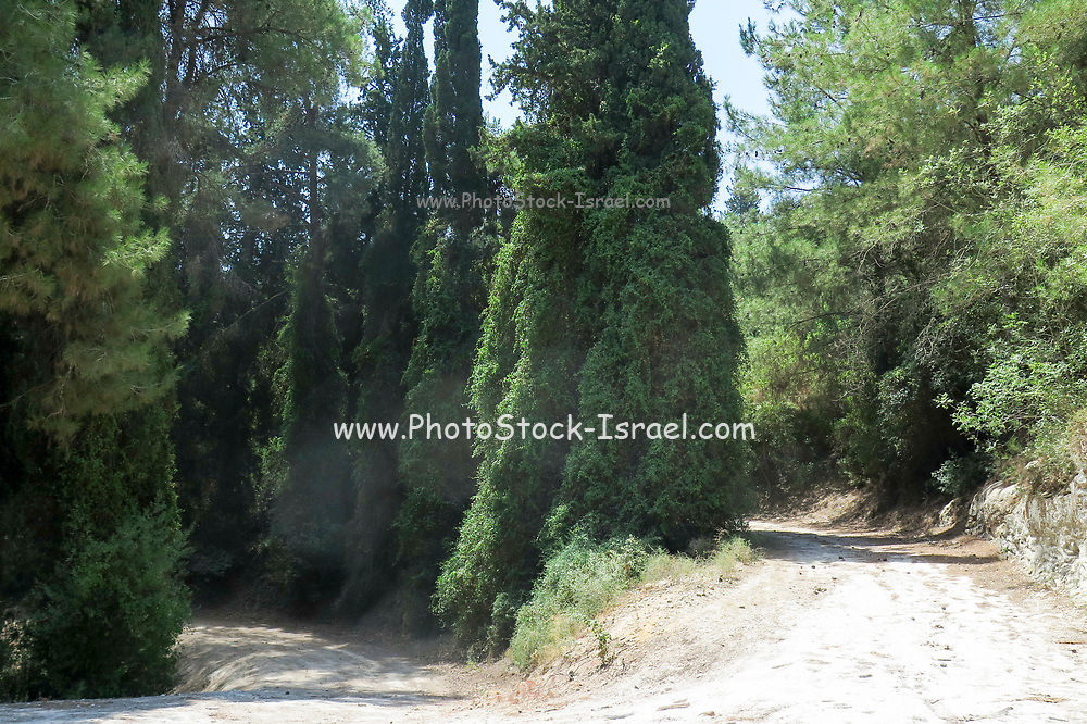 Cypress trees forest, Israel
