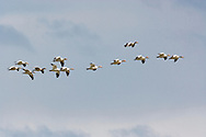 Snow Geese (Chen caerulescens) fly in formation while wintering at Fir Island in the Skagit River Delta at Puget Sound in Washington state, USA.