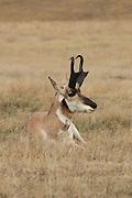 Pronghorn (Antelope) in short-grass prairie habitat
