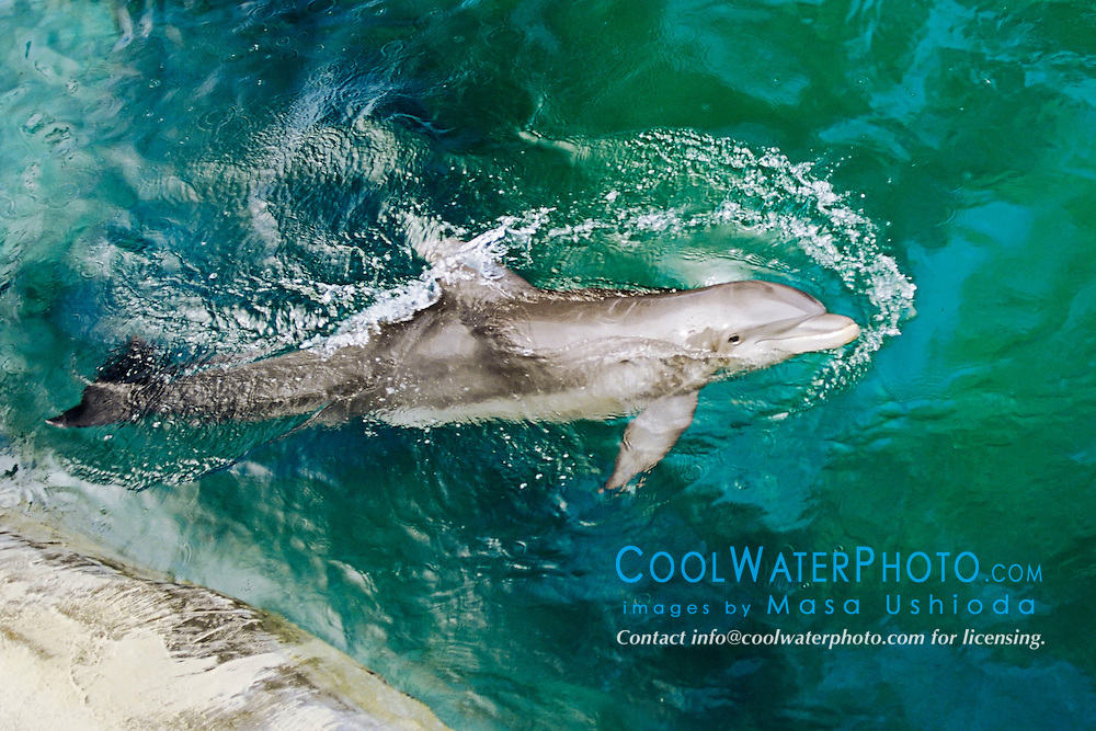 bottlenose dolphin, Tursiops truncatus, Oahu, Hawaii, Pacific Ocean (c)