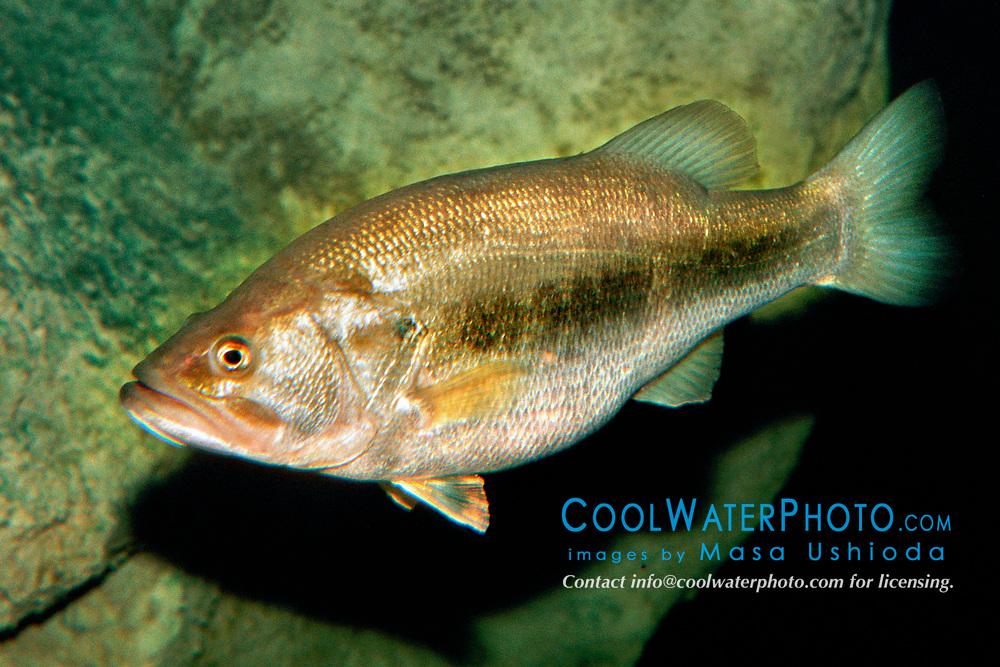 largemouth bass (c), Micropterus salmoides, Florida (Freshwater)