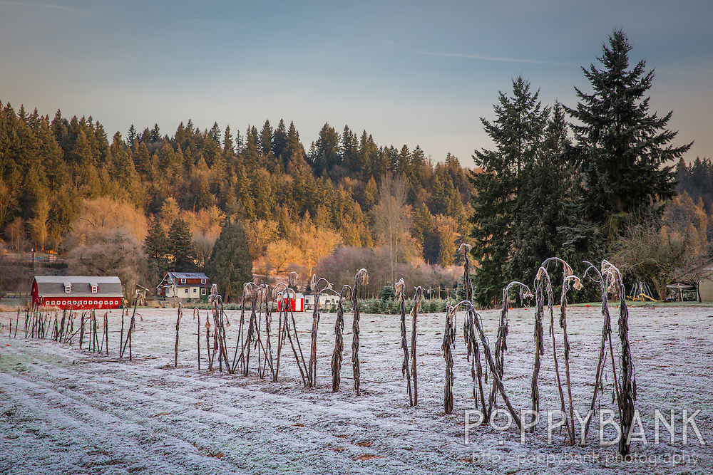 The sun rises over Serres Farm in Sammamish, Washington on a frosty winter morning