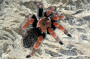 Guererro Orange Leg Spider, Brachypelma boehemi, Tarantula, Mexico, captive on rock
