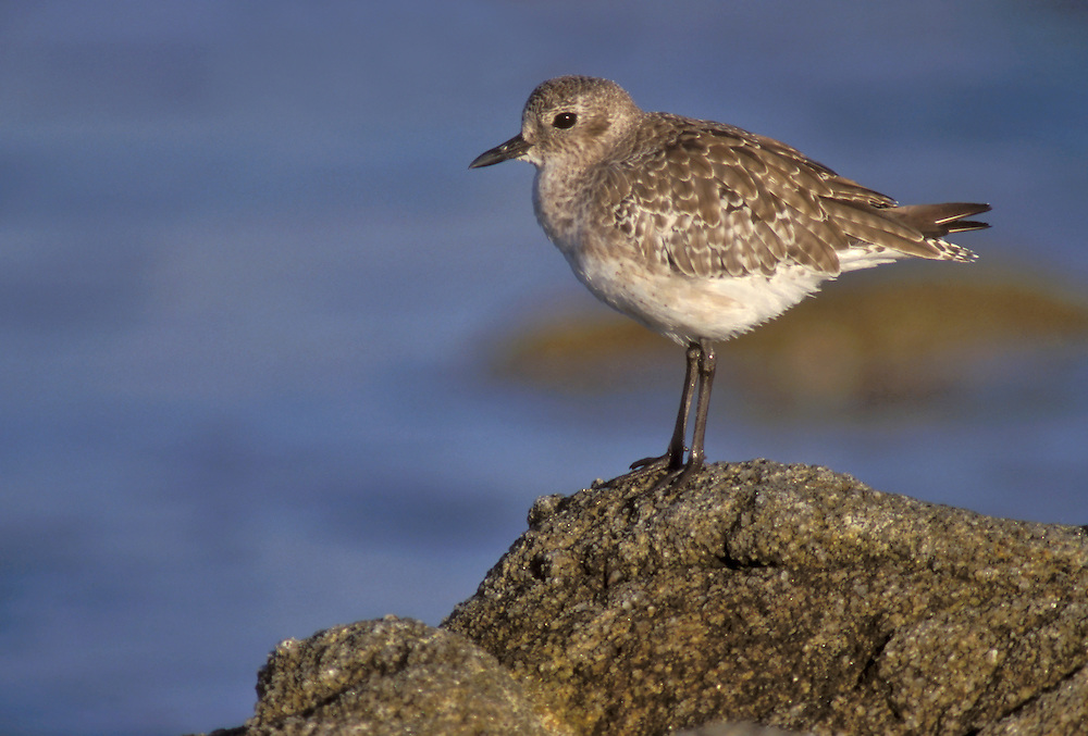 Adult non-breeding<br /> Los Angeles Co., CA<br /> December 2002 Grey Plover - Pluvialis squatarola - Adult moulting into full Summer Plumage. L 28cm. Plump-bodied coastal wader. Best known in winter plumage but breeding plumage sometimes seen in newly-arrived, or shortly-to-depart, migrants. In flight, note black 'armpits' on otherwise white underwings. Typically solitary. Sexes are similar. Adult in winter looks overall grey but upperparts are spangled with black and white and underparts are whitish. Legs and bill are dark. In summer plumage, has striking black underparts (sometimes rather mottled in females) separated from spangled grey upperparts by broad white band. Juvenile resembles winter adult but has buff wash to plumage. Voice Utters diagnostic, trisyllabic pee-oo-ee call, like a human wolf-whistle. Status Nests in high Arctic; coastal, non-breeding visitor to Britain and Ireland