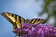 A female tiger swallowtail feeding on the nectar of a butterfly bush.