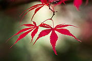 Two red leaves at the peak of their fall color hang from a Japanese maple (Acer palmatum) tree.