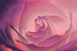 A soft purple light cast on a closeup shot of a white rose with a long exposure to pull in the additional light hue.