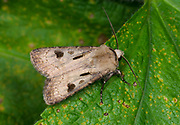 Close-up of a Heart and dart moth (Agrotis exclamationis) resting with wings partially open on a leaf in a Norfolk garden in summer