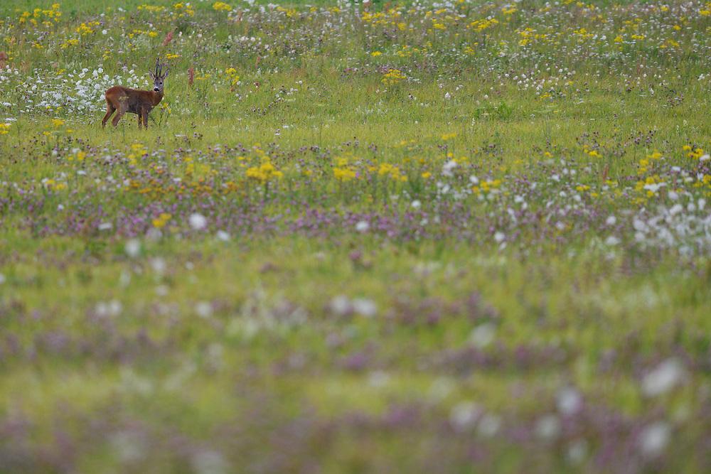 Roe Deer buck, Capreolus, capreolus, in a flowering meadow, Nemunas Delta Nature Reserve, Lithuania, Europe
