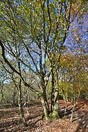 Ancient pollarded Pedunculate or English Oak, Quercus robur, Stoke Wood, Oxfordshire.